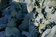 Беллаверде в поле